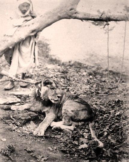 Le lion de la Mekerra dans SIDI BEL ABBES . lionsahara1884